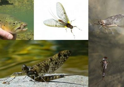 mayfly-spring-